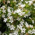 myoporum parvifolium white creeping boobialla