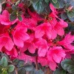 Autumn Ruby
